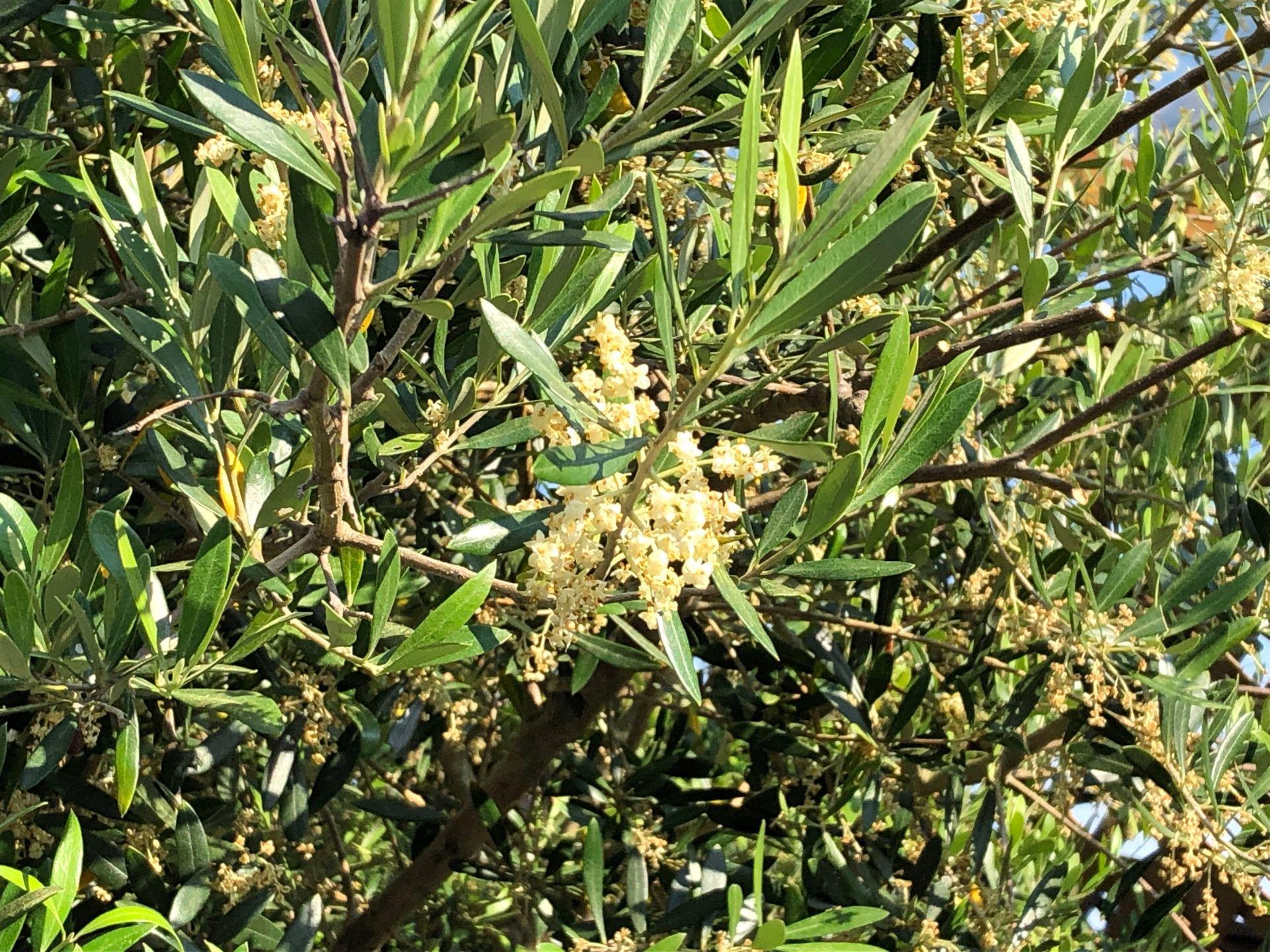 植栽【オリーブの木と蜂】